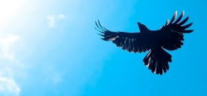 crow-585x272 (1)